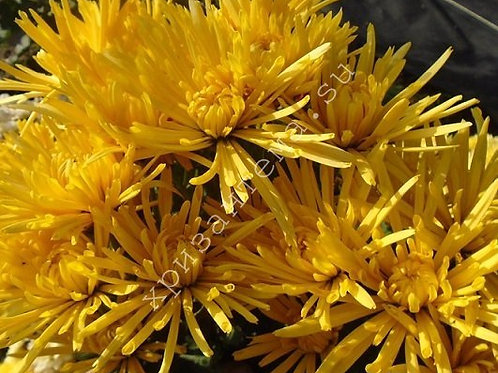 Кустовая хризантема Carole yellow