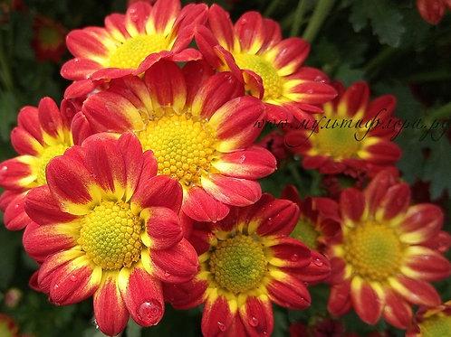 Кустовая хризантема Пчёлка