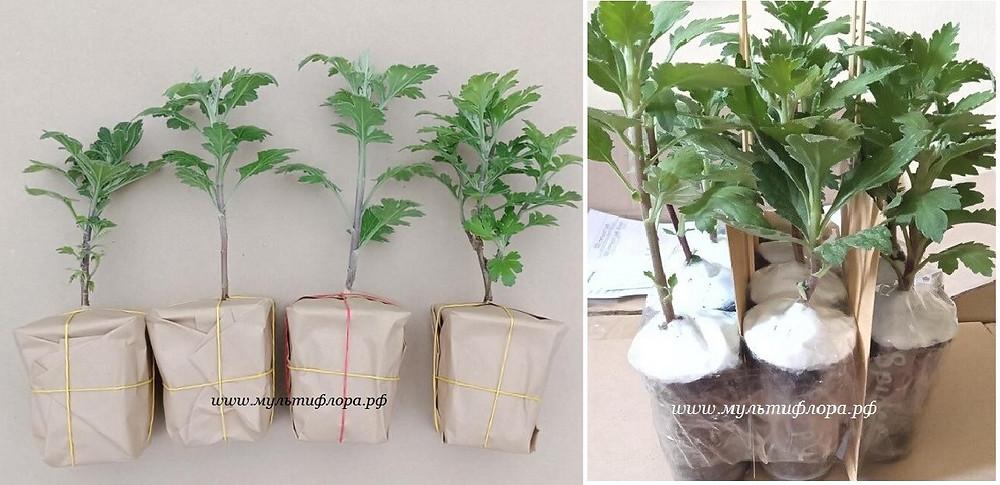 упаковка хризантемы для отправки почтой