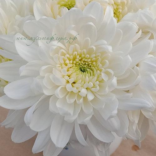 Кустовая хризантема Zembla white