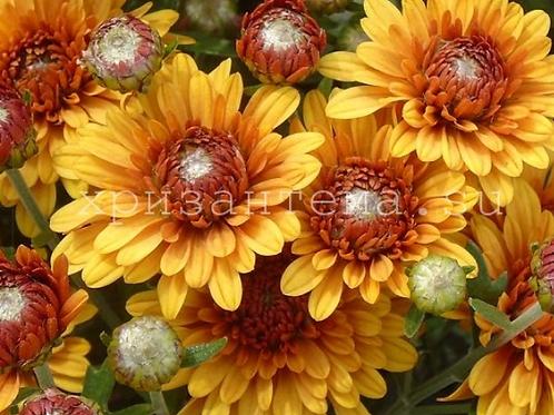 мультифлора Tocca orange(весна 2021 г)