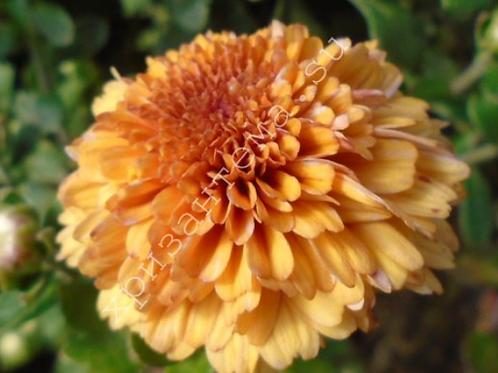 мультифлора Malfara orange(весна 2021 г)