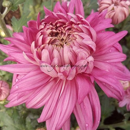 Одноголовая хризантема Holiday pink