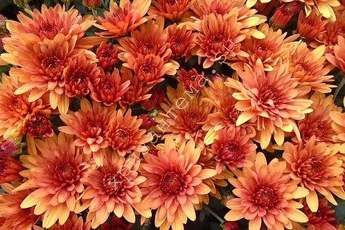 мультифлора Avalon orange(весна 2021 г)