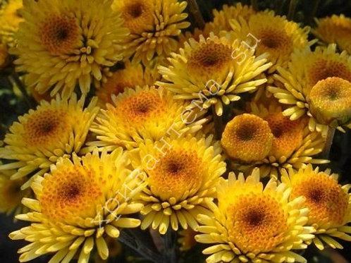 Кустовая хризантема Stalion yellow