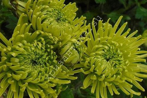 кустовая хризантема Anastasia green