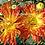 Thumbnail: Садовая хризантема Осеннее рандеву. № з.85