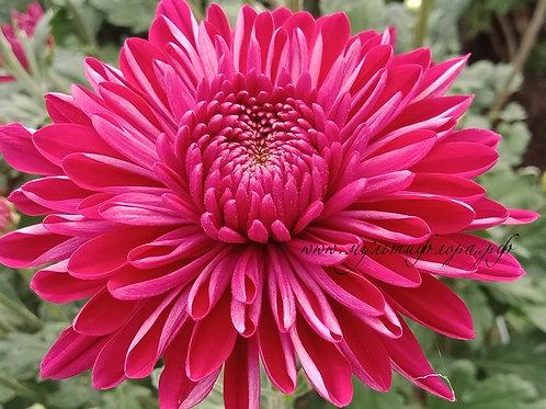 Крупноцветковая хризантема Lyuba