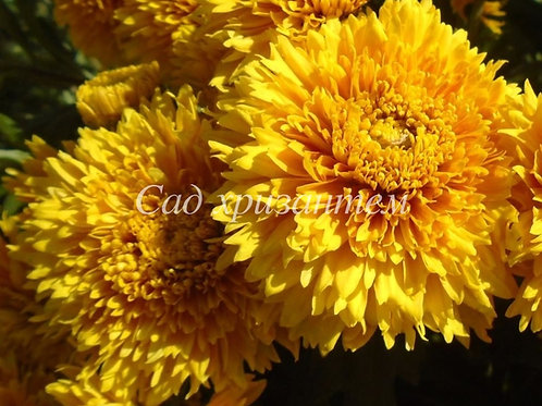 Садовая хризантемы Копикет еллоу