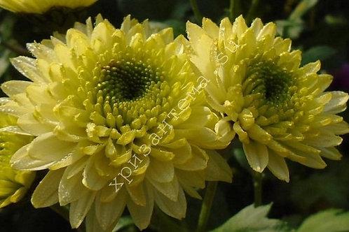 Кустовая хризантема Пума лайм