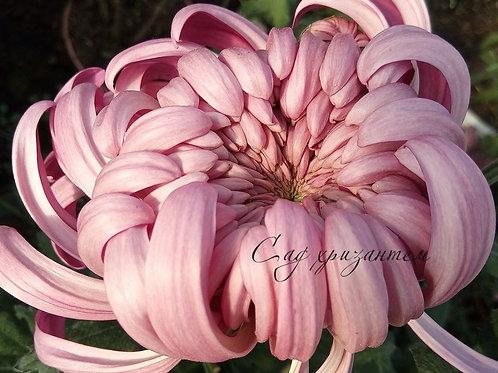 Хризантема крупная  Viena Pink (о.43)