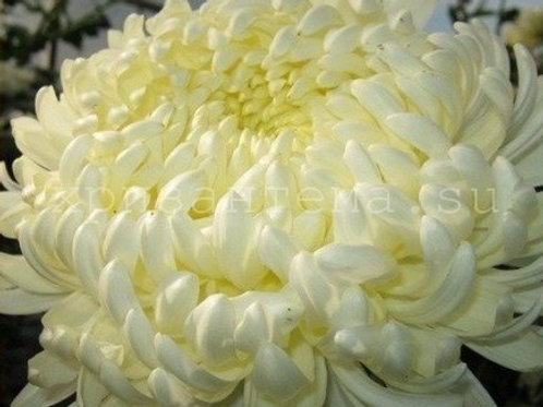 №3. Хризантема одноголовая Minka white (весна 2021)