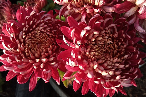 Горшечная хризантема Irisa Rouge