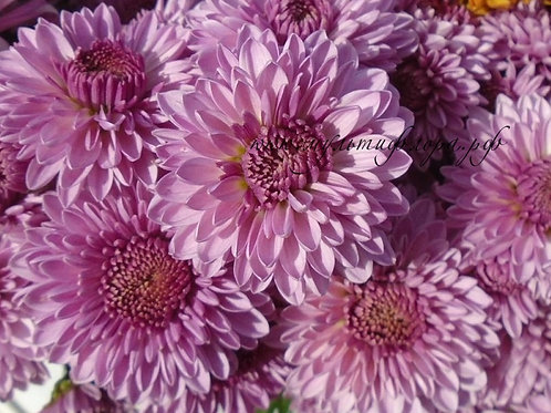 Кустовая хризантема Бон-бон