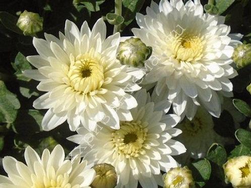 мультифлора Meridian white (череноквесна 2021г)