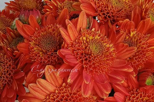Садовая корейская хризантема Рыжик