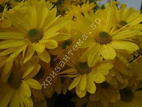 Кустовая хризантема Bacardi gold