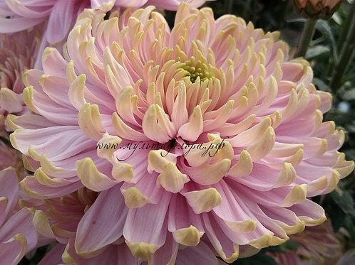 Хризантема крупноцветковая Rossano Charlotte