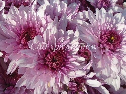 Кустовая хризантема Подольск