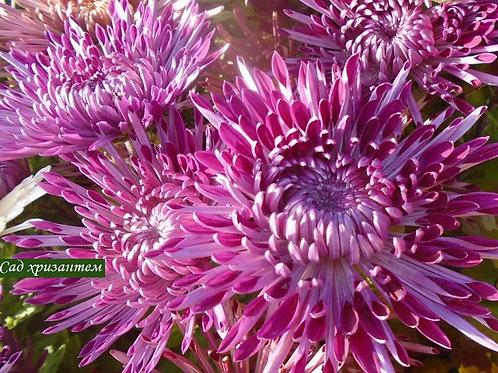 Хризантема горшечная Santosh Violet