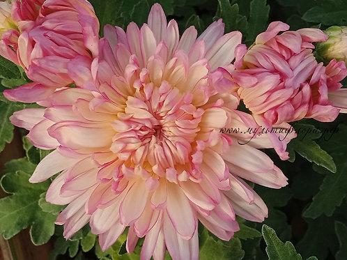 Горшечная хризантема Pearly