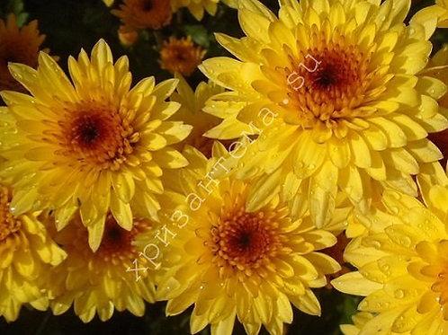 Кустовая хризантема Amalfi yellow