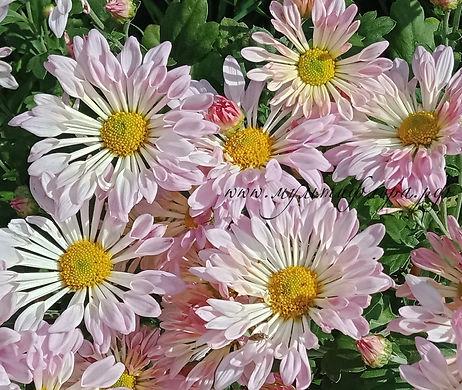 каталог зимостойкой хризантемы