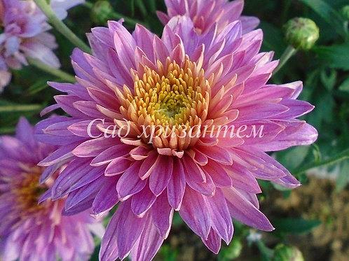 Садовая хризантема Светланка (на весну 21 г.)