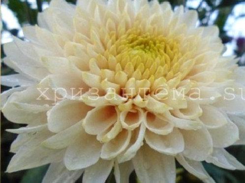 №10. Хризантема одноголовая Zembla vanilla (весна 2021)