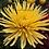 Thumbnail: Хризантема одноголовая Anastasia gold