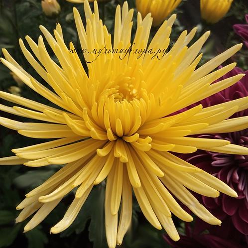 Хризантема одноголовая Anastasia gold