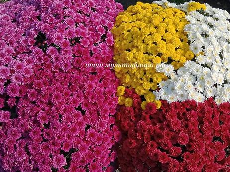 Ампельная хризантема