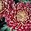 Thumbnail: Хризантема одноголовая Bisllet red