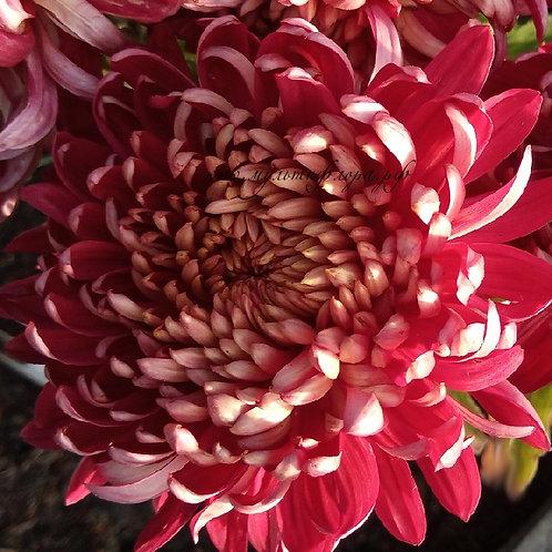 Хризантема горшечная Irisa Rouge