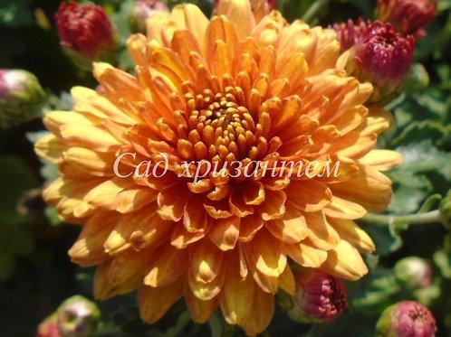 Садовая хризантема Золотое руно