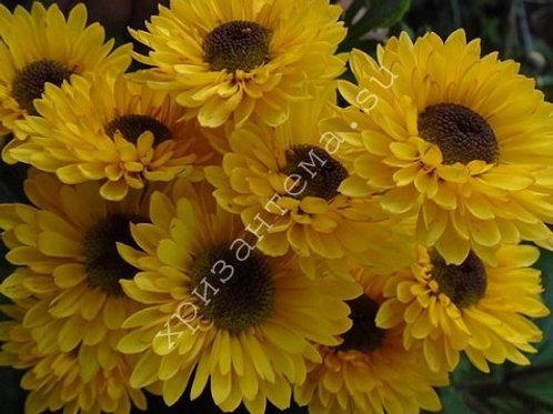 Кустовая хризантема Blink Tamara Yellow