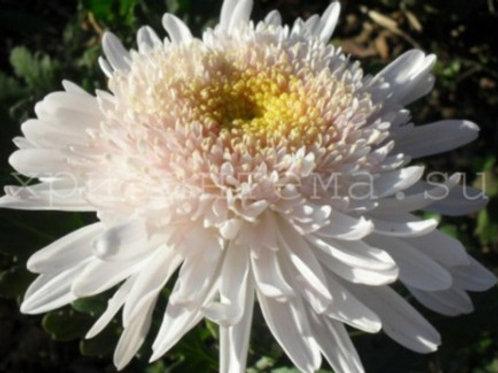 № 12. Хризантема одноголовая Eleanora white (весна 2021)