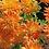 """Thumbnail: Зимостойкая садовая хризантема """"Синайское золото"""""""