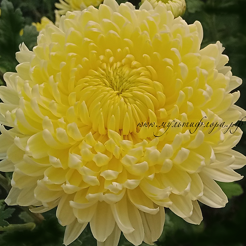Хризантема крупноцветковая Creamish white