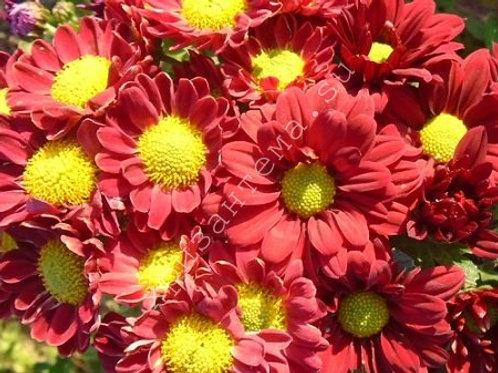 Кустовая хризантема Мини красная