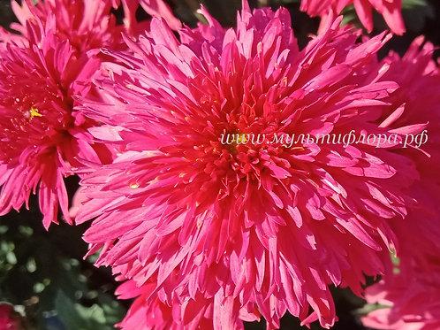 Корейские хризантемы Гвоздика