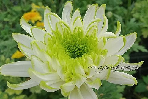 Хризантема одноголовая Zembla laim
