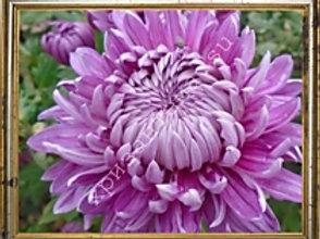 Хризантема домашняя №39