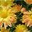Thumbnail: Зимостойкая хризантема Рейган