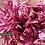 Thumbnail: Хризантема домашняя  Пантин розовый