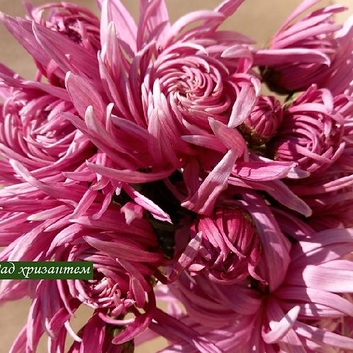 Хризантема домашняя  Пантин розовый