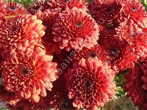 Кустовая хризантема Lexy red
