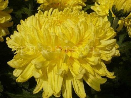 №4. Хризантема одноголовая Snowdon yellow (весна 2021)