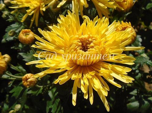 Садовая хризантема Сонечко