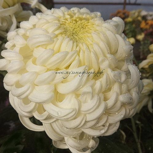 Хризантема одноголовая Viena White